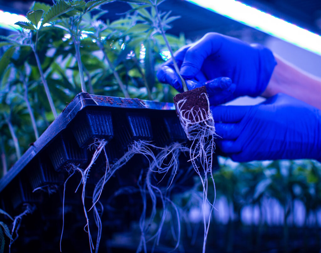 A pair of hands lifts a tray of small clones with developed root systems, displaying the bright white roots beneath the tray