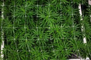An overhead shot of green cannabis leaves grown just under their trellis